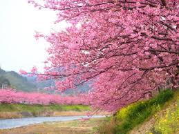 cherry blossom season in kawazu has arrived take a look