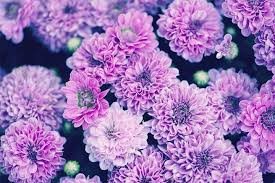Picture Of Mums The Flowers - chrysanthemum meaning and symbolism ftd com