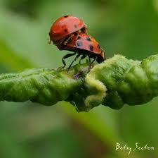 Ladybug Resume Beautiful Ladybug Photos In Action Flying Climbing Making Love