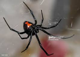 black widow spider stock photos and pictures getty images