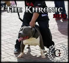 l american pitbull terrier a p b t newage pitbulls xtreme xl xxl gottiline blue nose bully pitbull