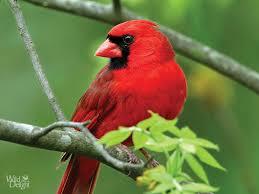 cardinal bird home decor cardinal wild delightwild delight