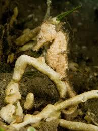 seahorse simple english wikipedia the free encyclopedia