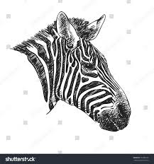 sketch zebra head hand drawn vector stock vector 722380126