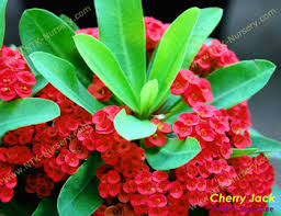 live ornamental plants and euphorbia milii plant cherry