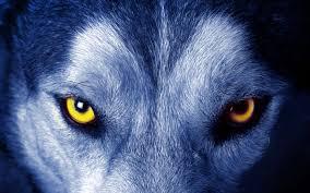 wolf eye wallpaper