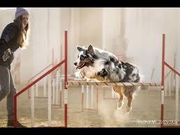 australian shepherd 200 agility training australian shepherd charlie youtube