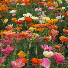 California Poppy Peaceful Valley California Poppy Seeds Mission Bells Lb