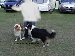buy a australian shepherd anti docking dogs u0027 tails and cropping of dogs u0027 ears puppy sales