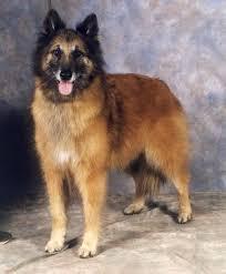 belgian sheepdog lifespan dog species shepherds
