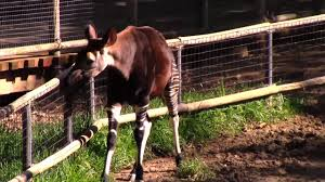 okapi at san diego zoo u0027s safari park 5 28 17 youtube
