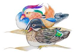 original drawing mandarin ducks feng shui symbol of love loyality