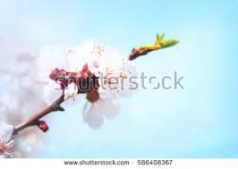 beautiful white flowers blossoming apricot tree stock photo