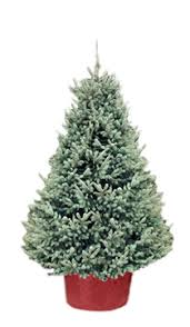 xmastree live potted christmas trees delivered free in toronto and