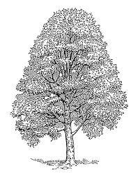 images for u003e easy cedar tree drawing trees pinterest pine