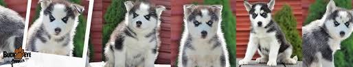 husky x australian shepherd for sale puppies for sale buckeye puppies