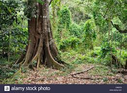 tree with a thick trunk in a tropical mountain forest forest