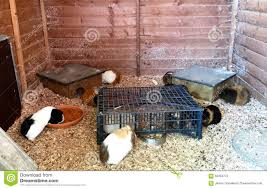 Cages For Guinea Pigs Several Guinea Pigs In A Large Home Run Cage Stock Photo Image