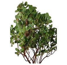 manzanita branches wholesale wholesale curly willow branches for sale