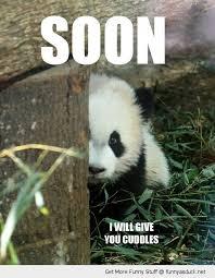Funny Panda Memes - funny baby pandas fluffy thing fridays pandas projects to