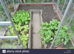 a greenhouse growing salad leaves with seedlings growing in the