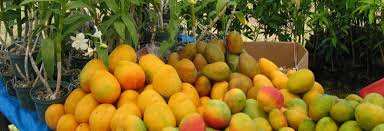 Ackee Fruit Tree - traditional foods of jamaica ackee a handful of islands grow
