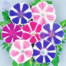 compare prices on ipomoea nil morning glory seeds online shopping
