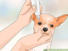 long hair chihuahua hair growth what to expect how to care for your chihuahua with pictures wikihow