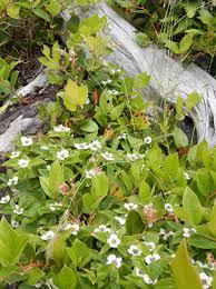 pacific northwest native plants spring meadow svseekins