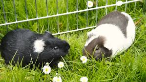 guinea pig in the grass domestic animal in the outdoor