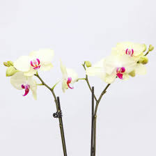 yellow orchid tahiti stem yellow orchid bouquet the bouqs co
