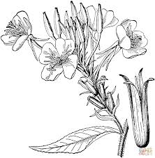 common evening primrose or evening star coloring page free