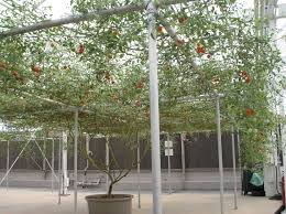 this is one single tomato plant rebrn com