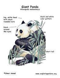 popular giant panda anatomy at best anatomy learn