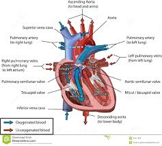Human Anatomy Images Free Download Human Heart Blood Flow Royalty Free Stock Image Image 24311956