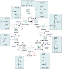 Poser Du Quick Step The Citric Acid Cycle Cellular Respiration Leçon La Khan Academy