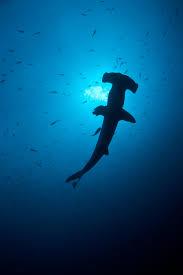 photos hammerhead sharks wilmington star news wilmington nc
