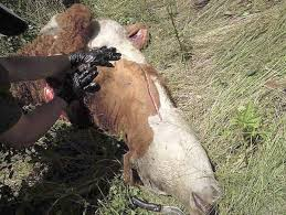 Washington wildlife images Wdfw hoped shooting 5 wolves would stop attacks capital press jpg&a