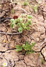 black bean aboriginal use of native plants 2 nardoo plant this small arid zone fern grows in dense mats on