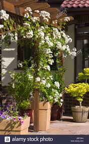 Fragrant Climbing Plants Can You Grow A Rambling Rose In Pot Best Rose 2017