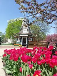 tulip festival map tulips approaching peak bloom in pella knia krls the one to