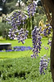 wisteria sinensis australian bush flower 243 best wisteria images on pinterest wisteria beautiful and
