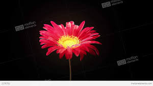 wilted flower stock animation 2276702