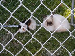 baby flemish giant rabbits page 2 backyard chickens