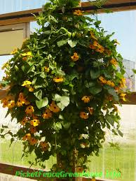 Heat Loving Plants by Anyone Can Grow The Thunbergia Black Eyed Susan Vines Picket