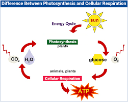photosynthesis and cellular respiration worksheet holt biology