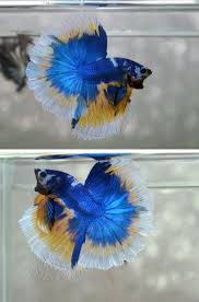 2039 best halfmoon bettas images on pinterest auction cgi and