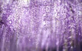 100 Wisteria Flower Tunnel 365 Best Wisteria Lane Images On