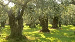 health benefit of olive oil eden u0027s garden