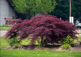green leaf japanese maple